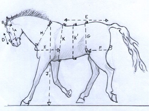 Aux mensurations du cheval